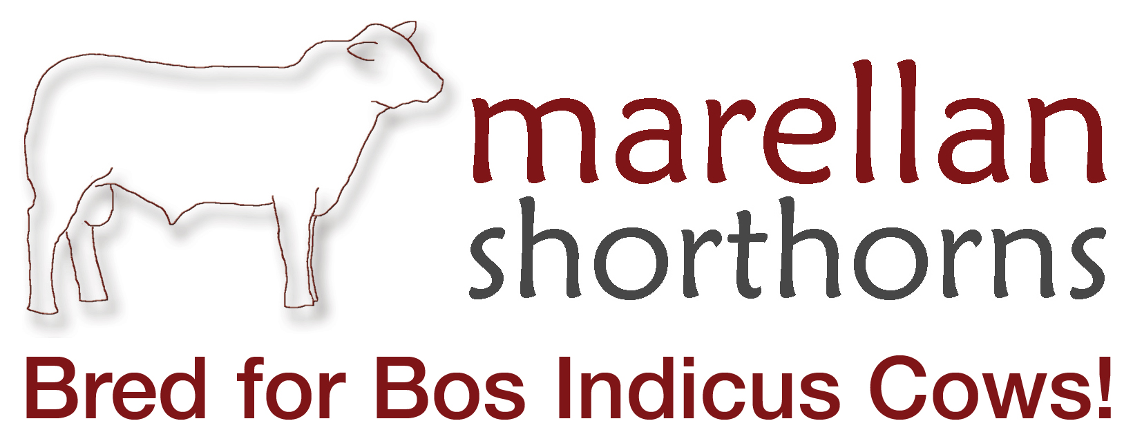 Marellan Shorthorns – Bred for Bos Indicus Cows Bull Sale