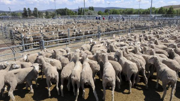 Sheep yardings increase as mutton rally continues
