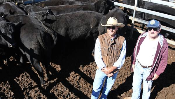 PTIC cows reach $2800/hd top at Dunedoo store cattle sale