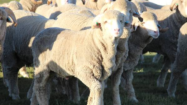 Stress less to avoid pneumonia in lambs