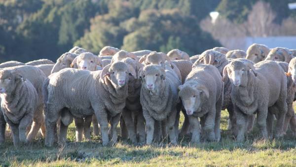 Sheep flock rebuild speeding up