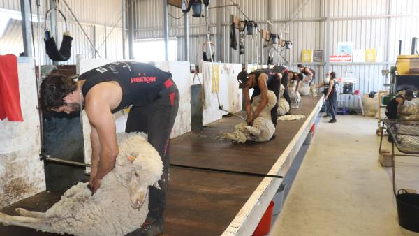 Tasmanian groups target youth in attempt to overcome a shearer shortage