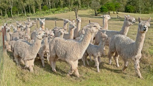 Doors open to new alpaca export opportunity
