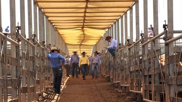 Demand for cattle goes through the roof