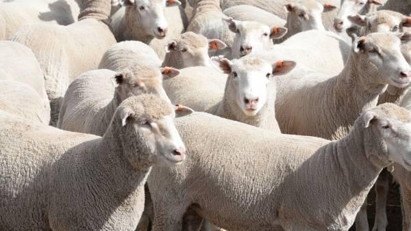 Aussie lamb exports rebound