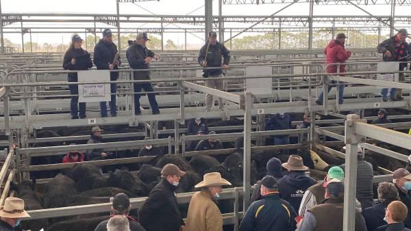 Ballarat steers to $2840, as light cattle trend higher