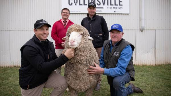 National Merino on-property record falls at Collinsville sale